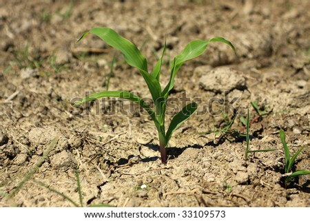 A macro photo of a young corn plant.