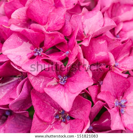 A macro shot of a red hydrangea bloom.