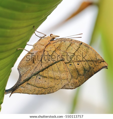 A Malayan leafwing butterfly resting on a green leaf.