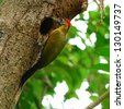 A male Laced Woodpecker(Picus vittatus) - stock photo