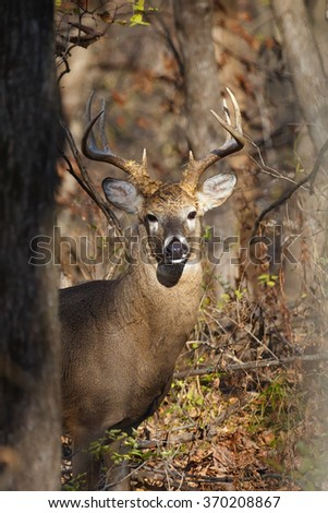 A male white-tailed (whitetail) deer with eight-point antlers peering through trees and branches in woods during the rut. The deer is looking at the camera. The photo was taken in Iowa.
