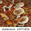 A mass of Autumn Fungi amongst a profusion of golden autumnal beech leaves - stock photo