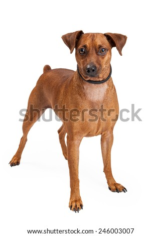 A Miniature Pinscher Mix Breed Dog standing while looking into the camera.