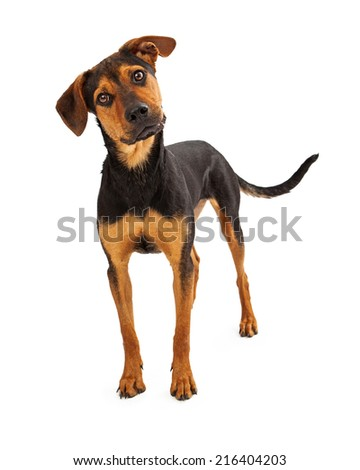 A mixed breed dog standing and looking forward at the camera