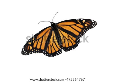 A Monarch butterfly on an isolated, pure white background. Can be rotated, flipped and used for a variety of ideas and concepts. Copy space, horizontal or vertical