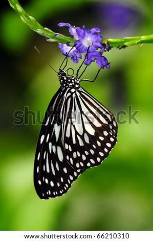 a monarch butterfly (Order Lepidoptera) looking for nectar