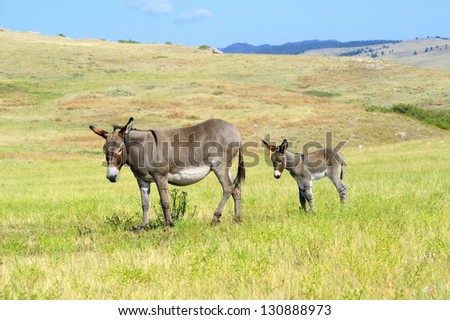 A mother and baby burro in custer state park south dakota
