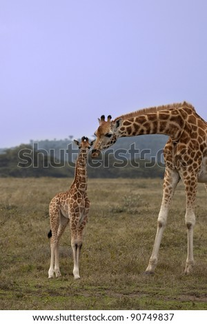 A mother giraffe leans down to put her head beside a baby giraffe