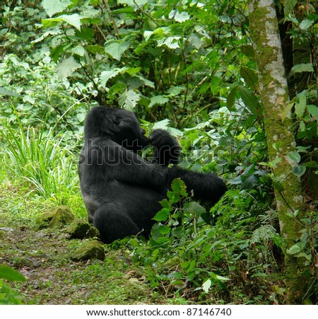 a Mountain Gorilla sitting in the cloud forest of Uganda (Africa)