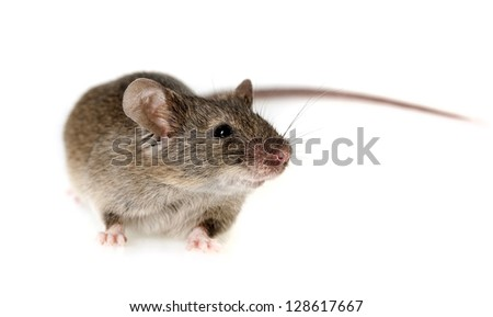 a mouse - white background