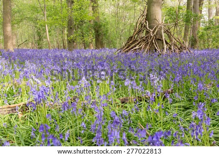A natural bluebell and beech woodland, England