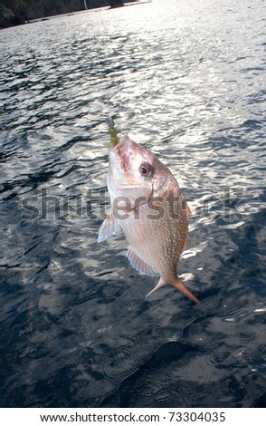 A  New Zealand Snapper (Pagrus Auratus) caught on a soft bait lure