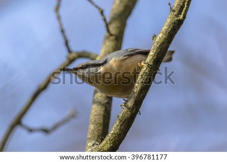 A nuthatch on the tree