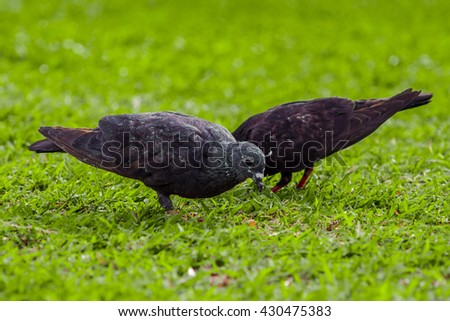 A Pair of Black Pigeons on yard in the Park/Garden (Focus at Pigeon, blurry background)