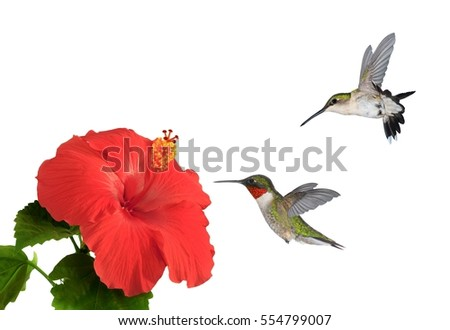 A pair of Ruby- throated hummingbirds (Archilochus colubris) at flowering hibiscus.