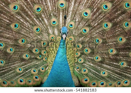 A peacock displaying and looking into the camera
