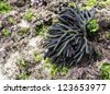 A piece of Dead Mans Fingers , or Codium fragile, a dark green fragile seaweed with a fingerlike structure which grows on rocks in the intertidal zone - stock photo