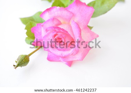 A pink rose on white background