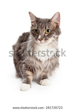 A pretty young domestic longhair tabby cat sitting and looking to the side