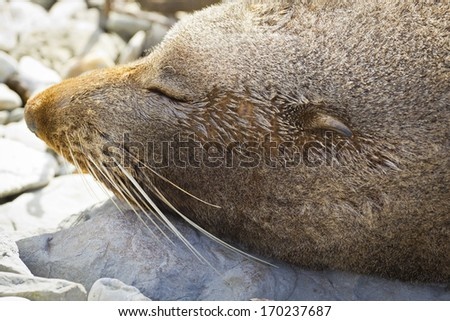 A quiet and calm fur seal sleeping in the beach of Kaikoura, New Zealand.