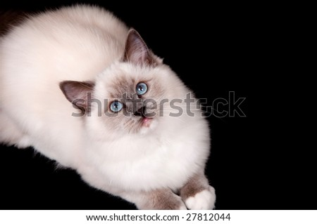 A ragdoll kitten sitting on a black background and looking up