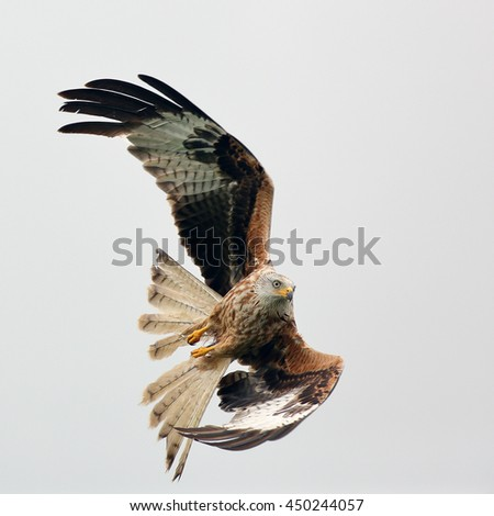 A Red Kite - bird of prey in flight against a cloudy sky.