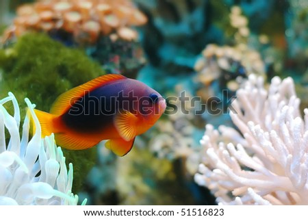 A red tropical fish with reefs and rocks in the background.