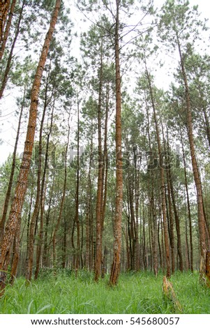 A rubber tree plantation forest nature in Batu East Java Indonesia