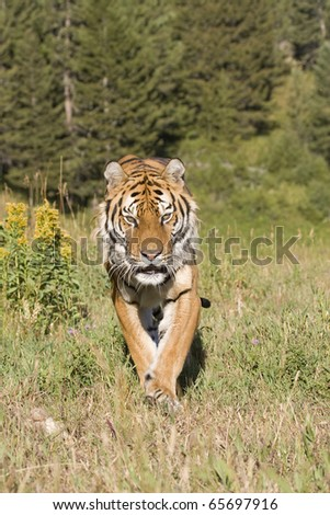 A Siberian Tiger Walking in a Forested Meadow