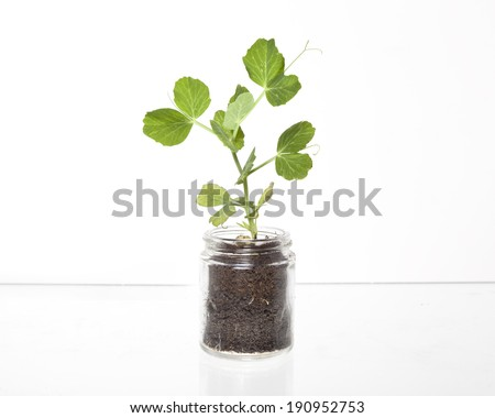 A single pea sprout in a glass container filled with dirt against a white background.
