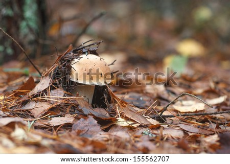 A single young porcini is coming through a thick wet layer of autumn leaves in a mixed forest.