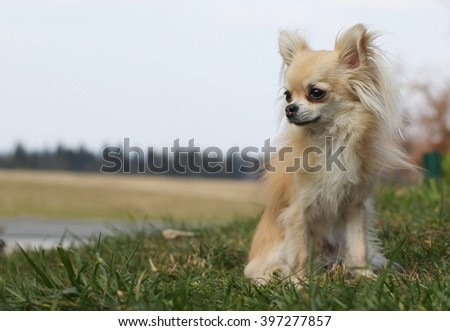 A small chihuahua sitting on green grass on windy afternoon outdoors looking left