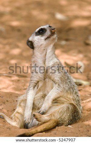 a small cute meerkat sits down and looks around