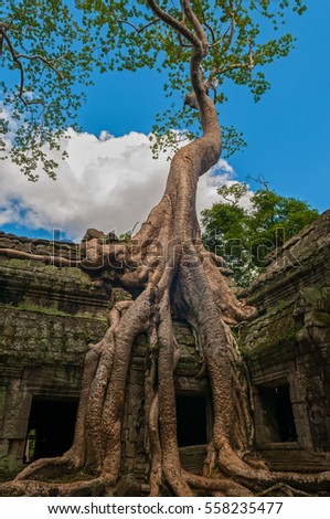 A spung tree  or Tetrameles nudiflora in the archaeological site of Ta Prohm in the Angkor region, Cambodia.