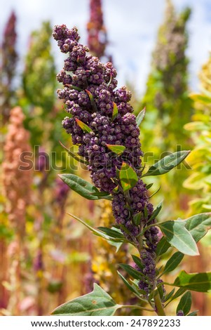 A stalk of quinoa (Chenopodium quinoa) in a field in the Andes Mountains of Ecuador near the city of Riobamba.