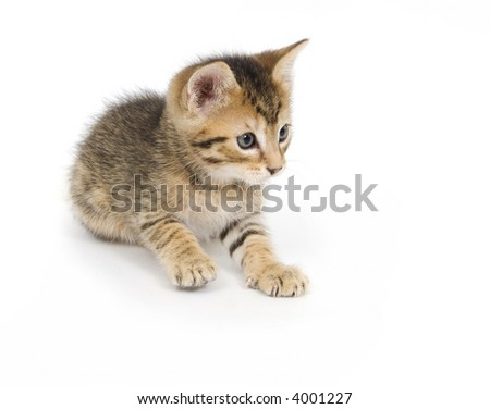 A tabby kitten pounces and plays on white background