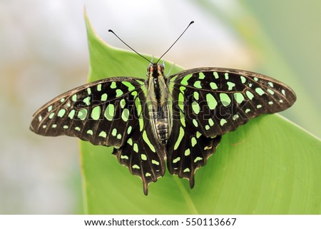 A tailed jay butterfly resting on a green leaf.