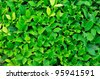 a texture of green plant - stock photo