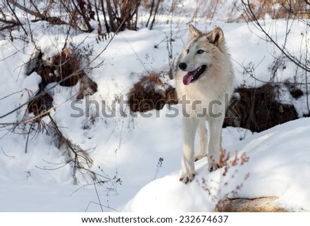 A timber and arctic wolf mix looks into the distance as he stands on a snow covered rock in the woods.