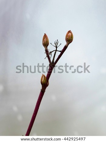 A twig of common dogwood with closed buds and red bark.
