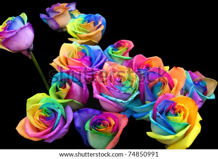 A unique and very special rainbow roses isolated in black for How much are rainbow roses
