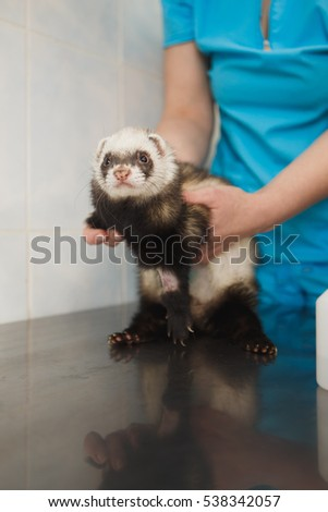 a veterinarian examines a pet ferret to a veterinary clinic