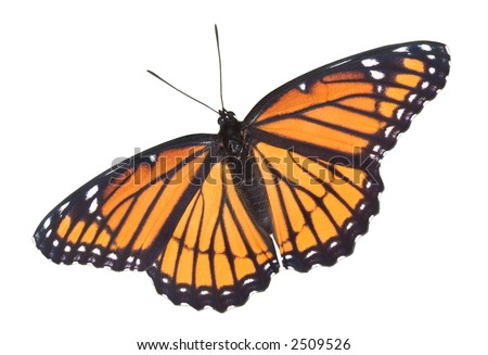 A viceroy butterfly with its wings open
