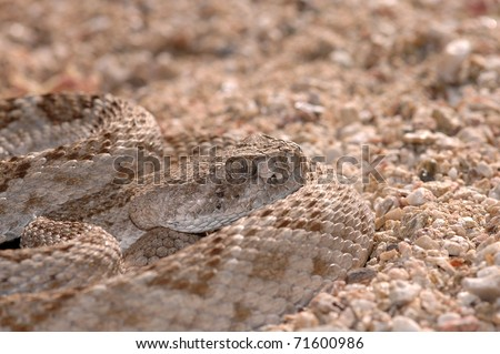 A well camouflaged western diamondback rattlesnake sits in ambush position in the sand.