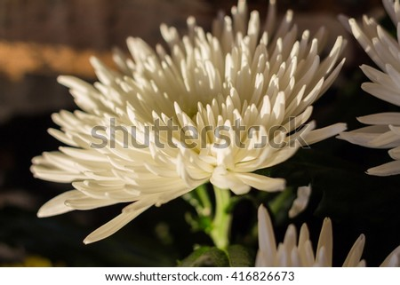 A white chrysanthemum in a contrast light