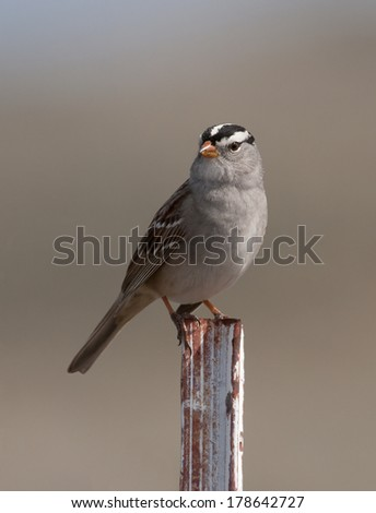 A white-crowned sparrow perches on a steel post in the early morning sunlight.