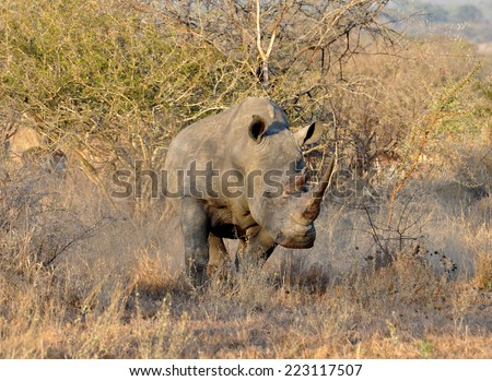 A White Rhinoceros (Ceratotherium simum) in the Kruger National Park, South Africa.