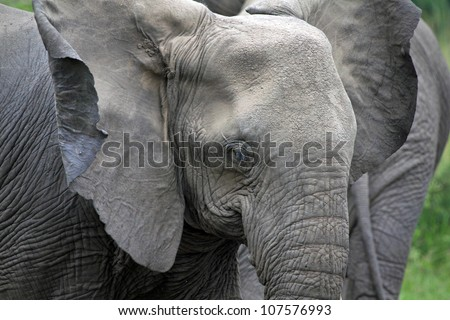 A WILD African Elephant cools its body by flapping its gigantic ears in Queen Elizabeth National Park in Uganda, Africa