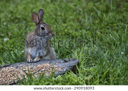A wild brown rabbit stands alert in front of a pile of bird seed amid a field of grass.