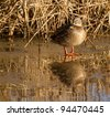 A wild duck on a frozen lake - stock photo